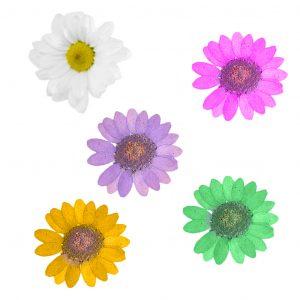 Fleurs séchées Marguerites